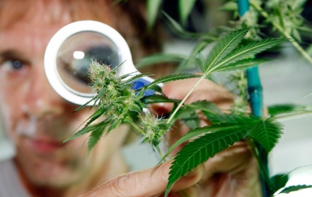 Легализировать марихуану или нет анаша конопля картинки
